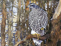 Goshawk in Pines 1995