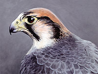 Lanner Falcon - Head Study